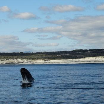 Whale in Hermanus