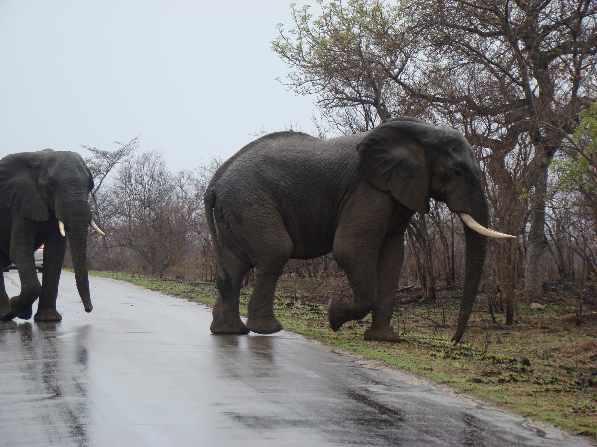 Kiboko Elephant