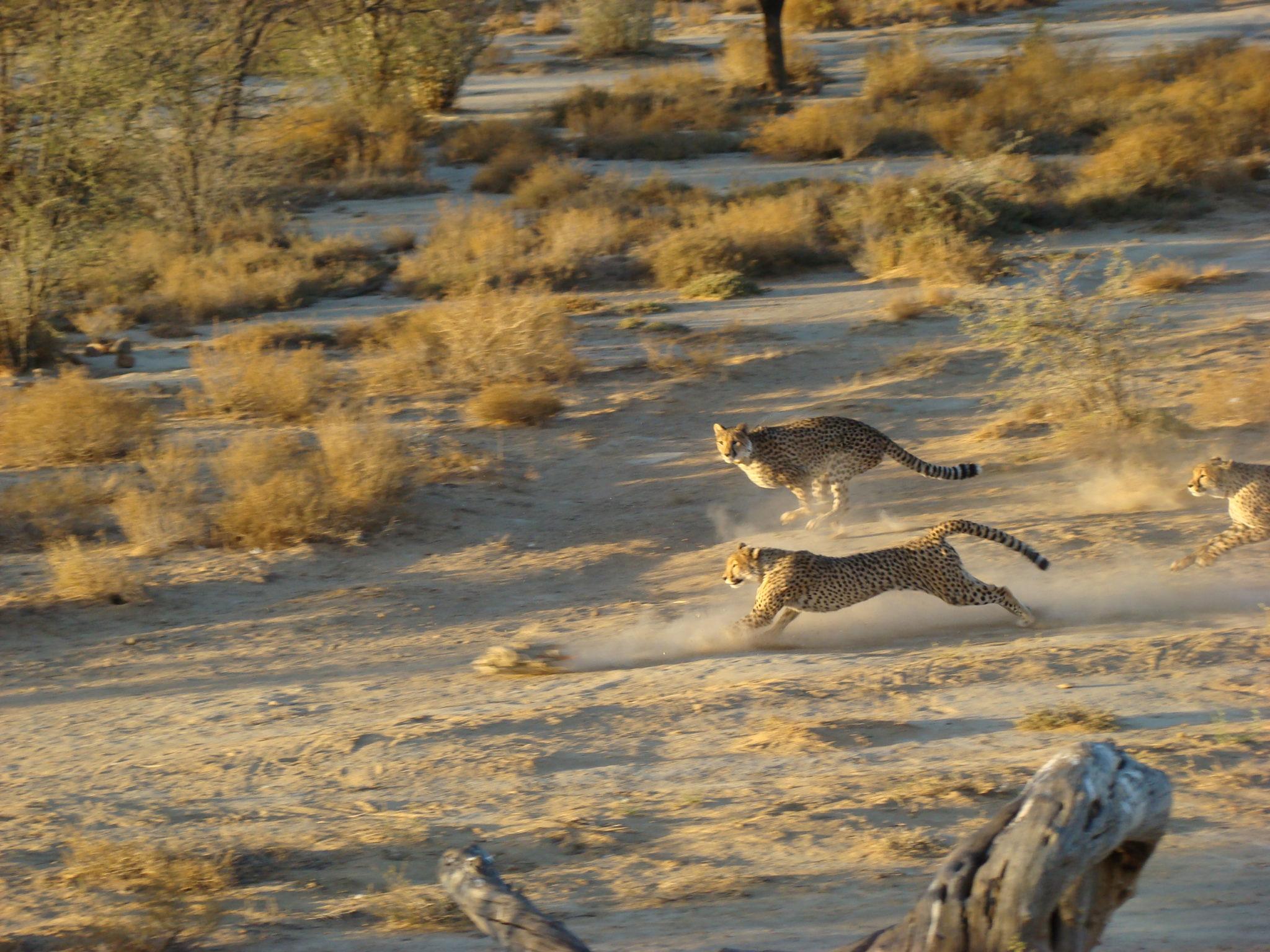 Cheetah-chase.JPG
