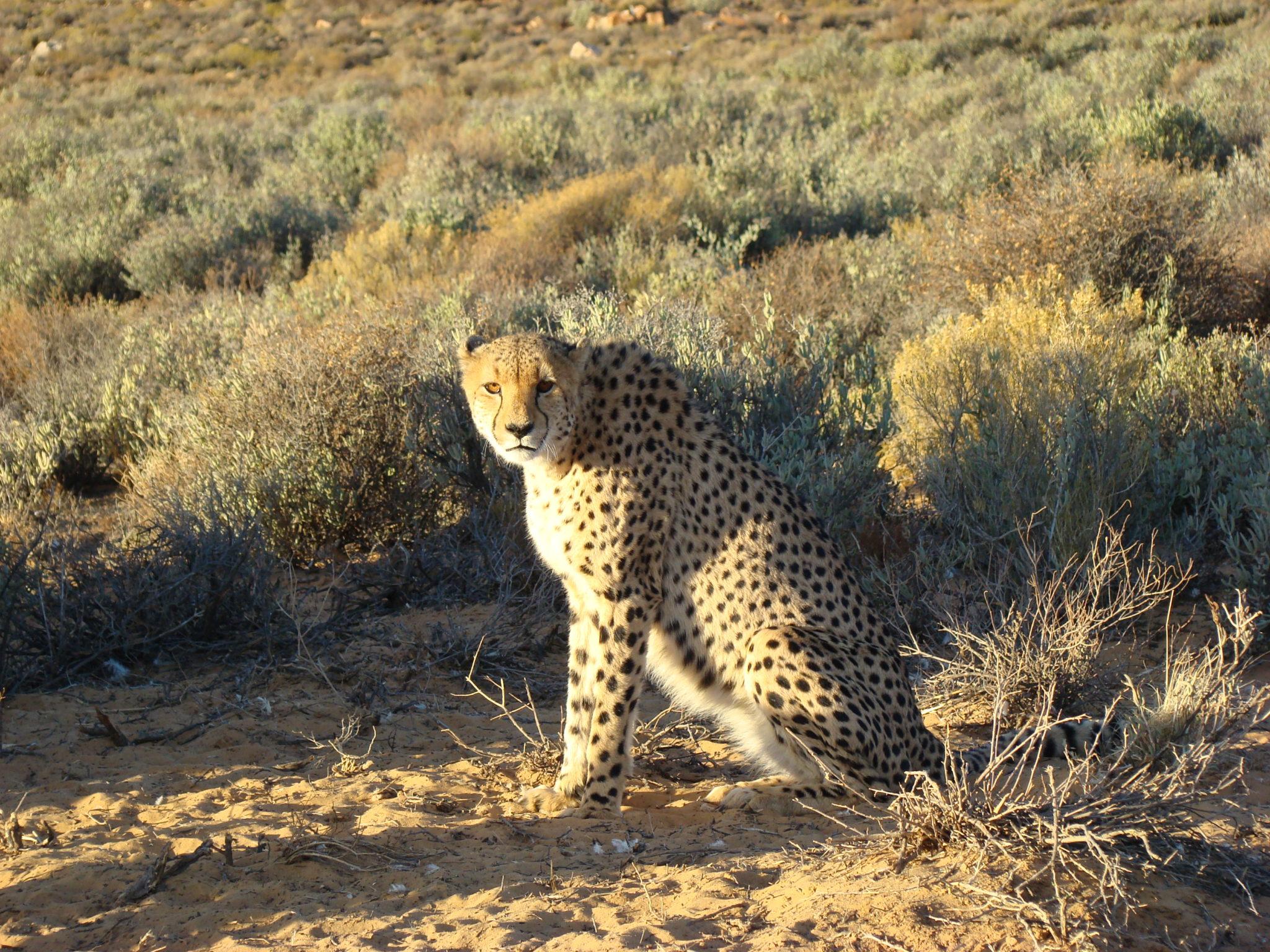 Male-Cheetah.JPG