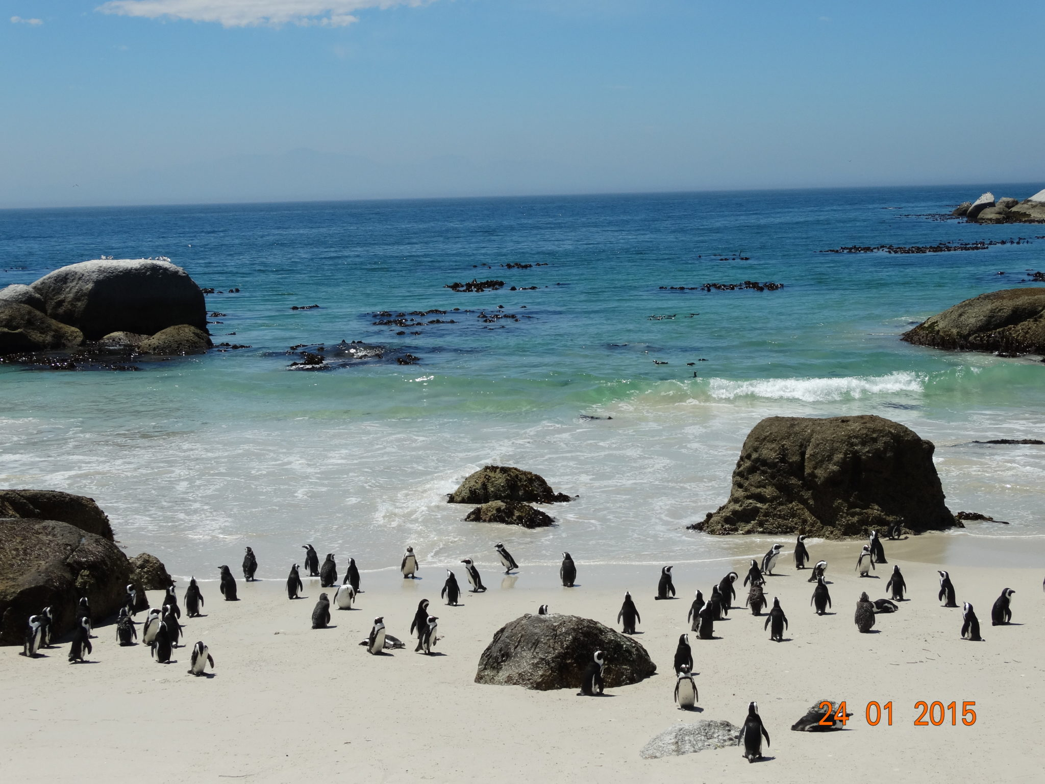 African Penguin Colony At The Beach In Simons Town