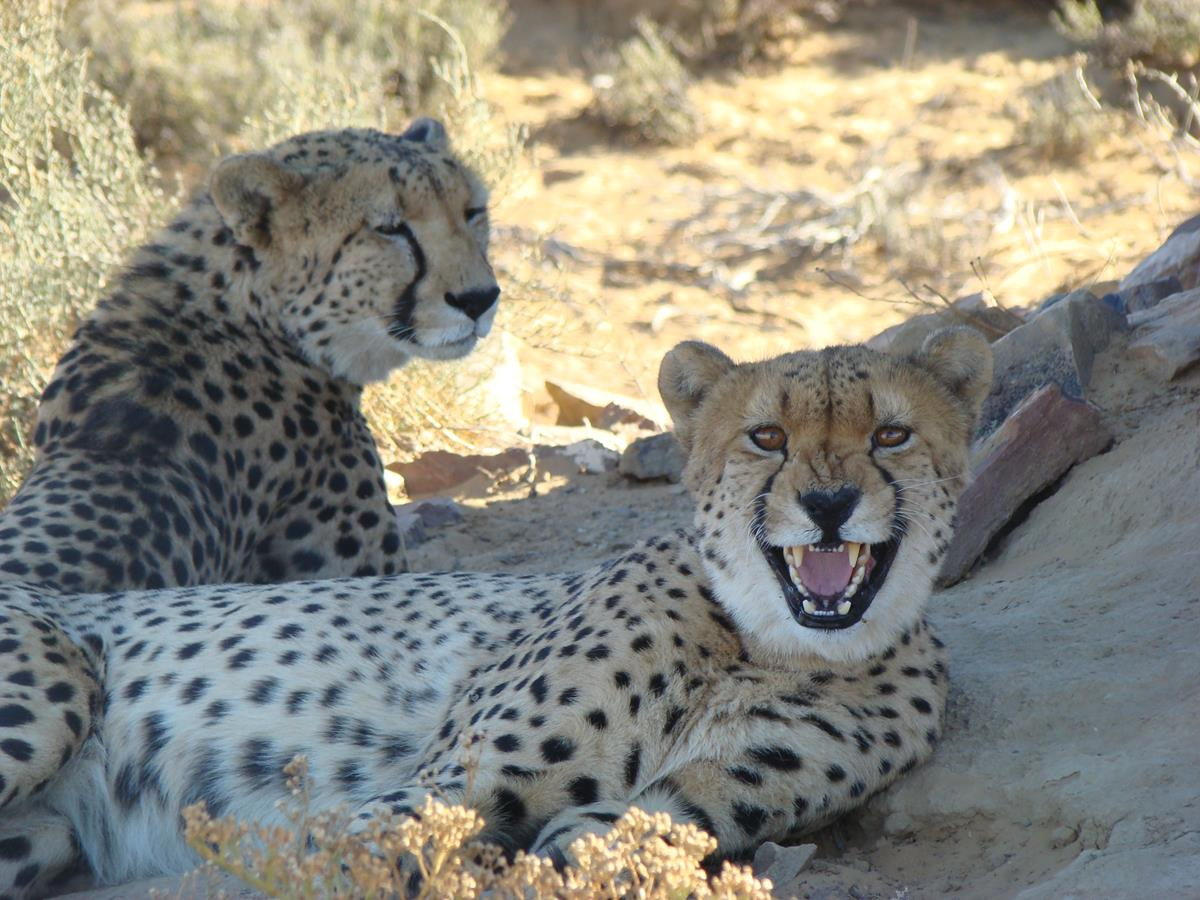 Cheetahs Resting Under A Tree At The Game Reserve