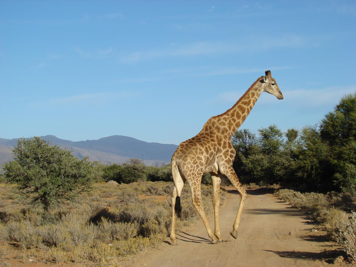 South African Giraffe Crossing The Road On A Full Day Safari
