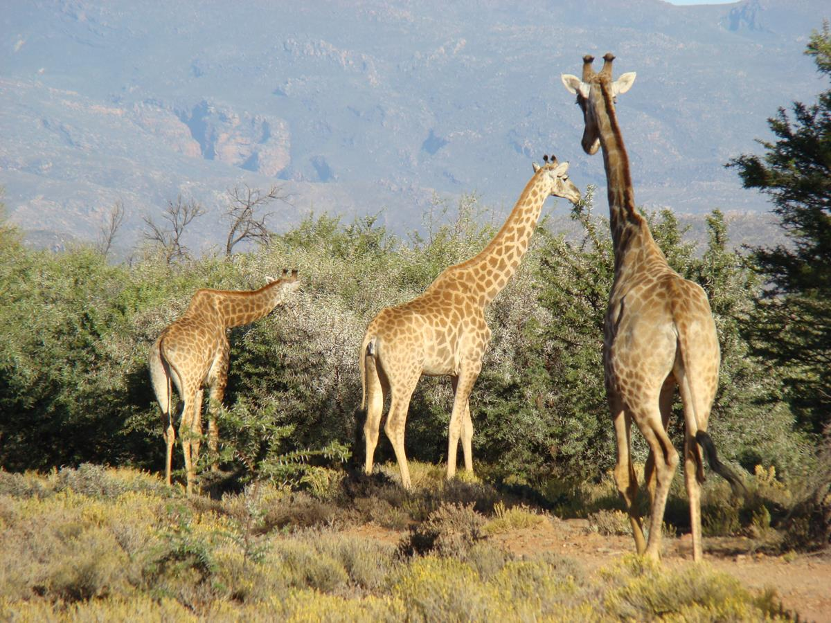 Giraffes Family Eating Leaves At The Reserve
