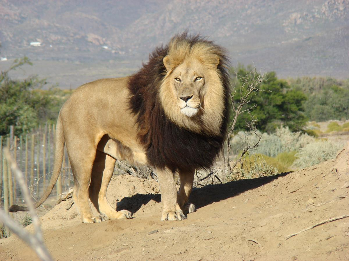 Male Lion Seen On The Full Day Safari At The Game Reserve