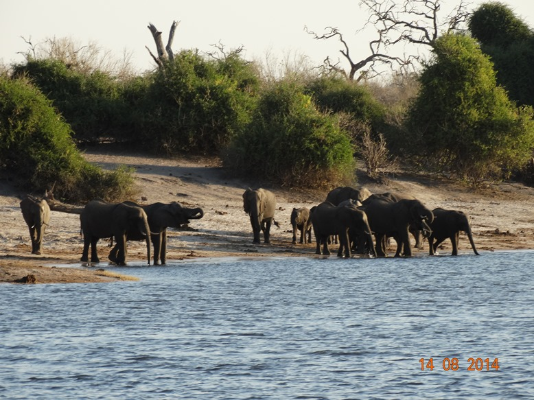Elephant At Chobe River1