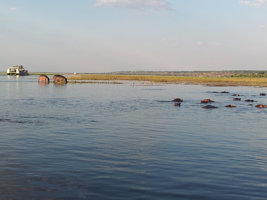 Hippo In The Chobe River