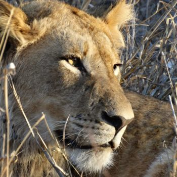 Lion in Kruger National Park1