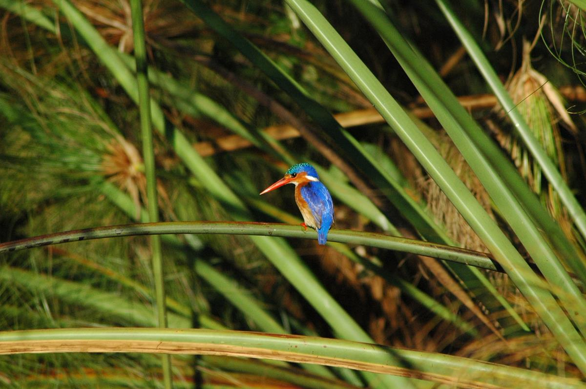 The Spectacular Malachyte Kingfisher (Copy)