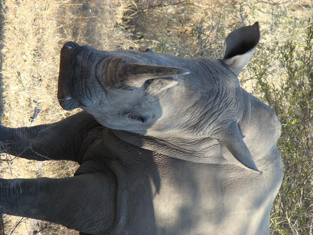 White Rhino In Kruger National Park (Copy)