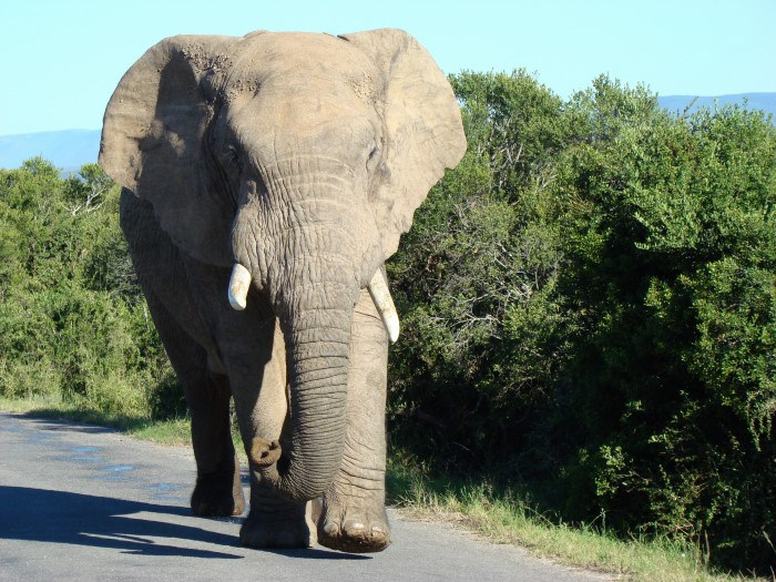 A bull Elephant walking along the road in Addo Elephant Park during the garden route tour