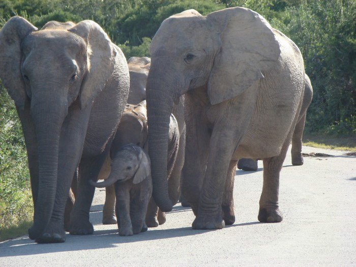 Elephant herd protecting their young one in Addo Elephant National park