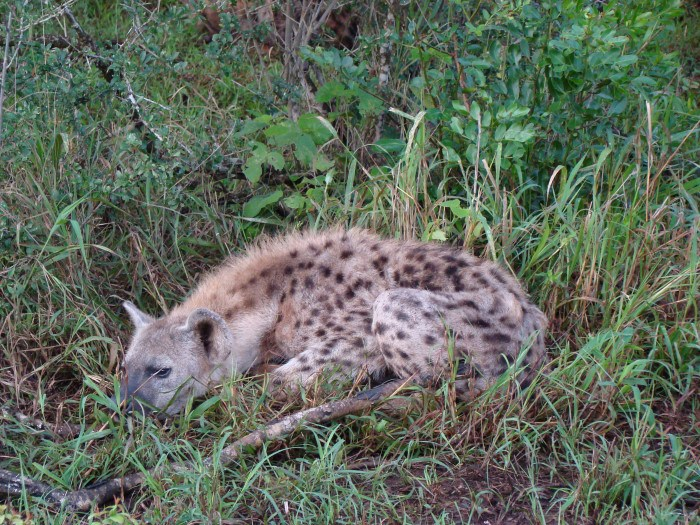 Spotted Hyena hiding in the grass in Kruger National Park