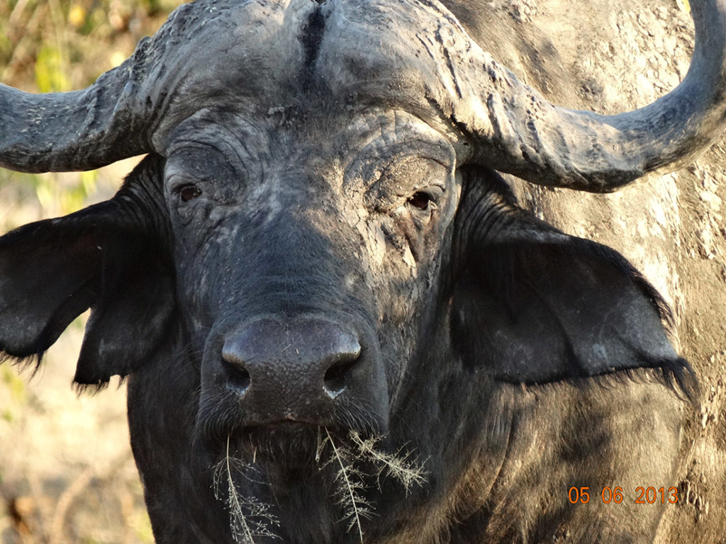 Buffalo seen on the Big Five African Safari at Kruger National Park