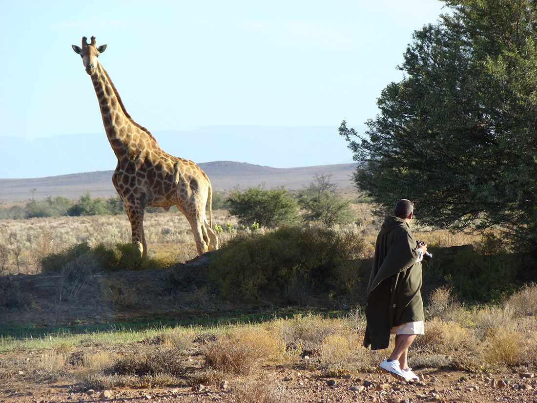 Overnight Safaris Giraffe