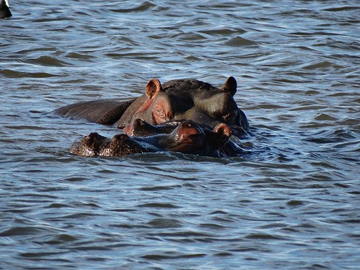 Hippo swimming in the Chobe River in Botswana