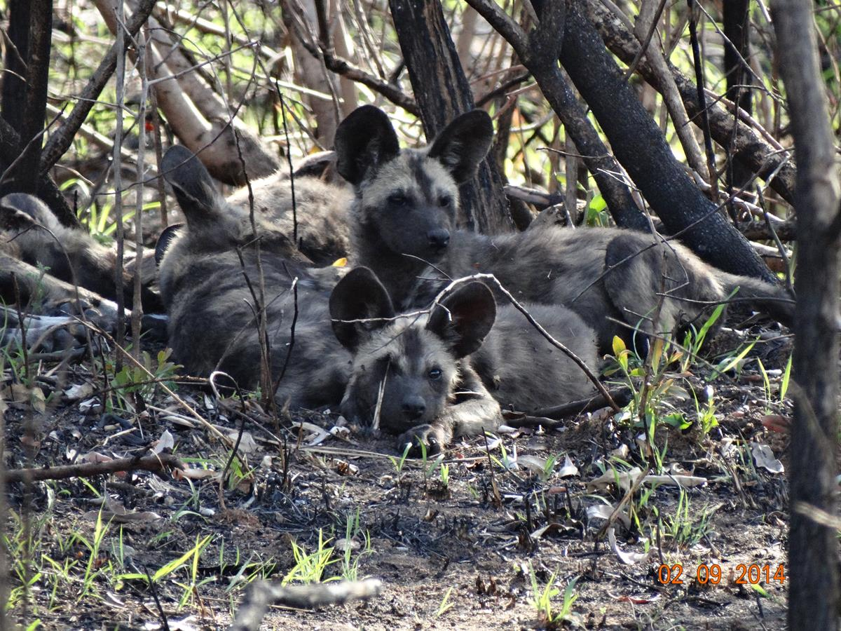 African Painted Dog litter