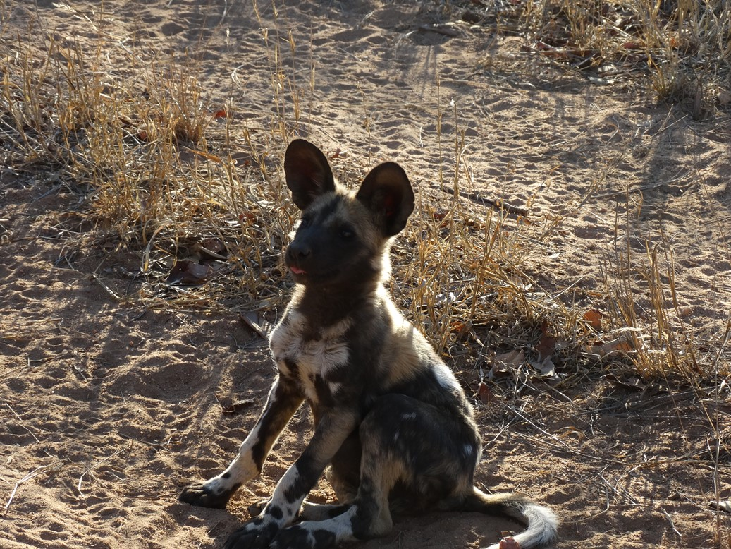 African Painted Dog pup1