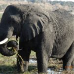 Bull Elephant On Seduku Island, Botswana1
