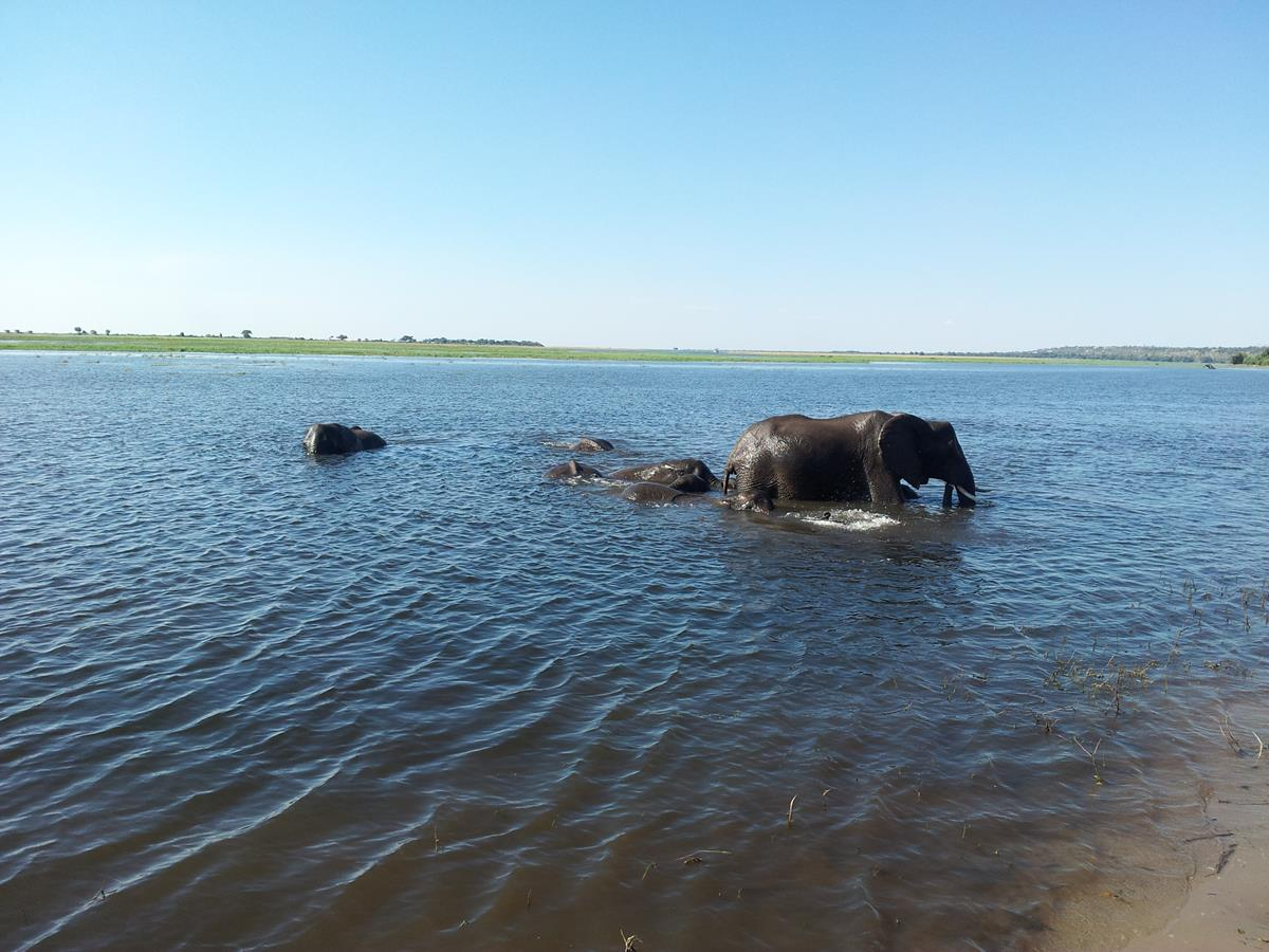 Cooling off in the Chobe River