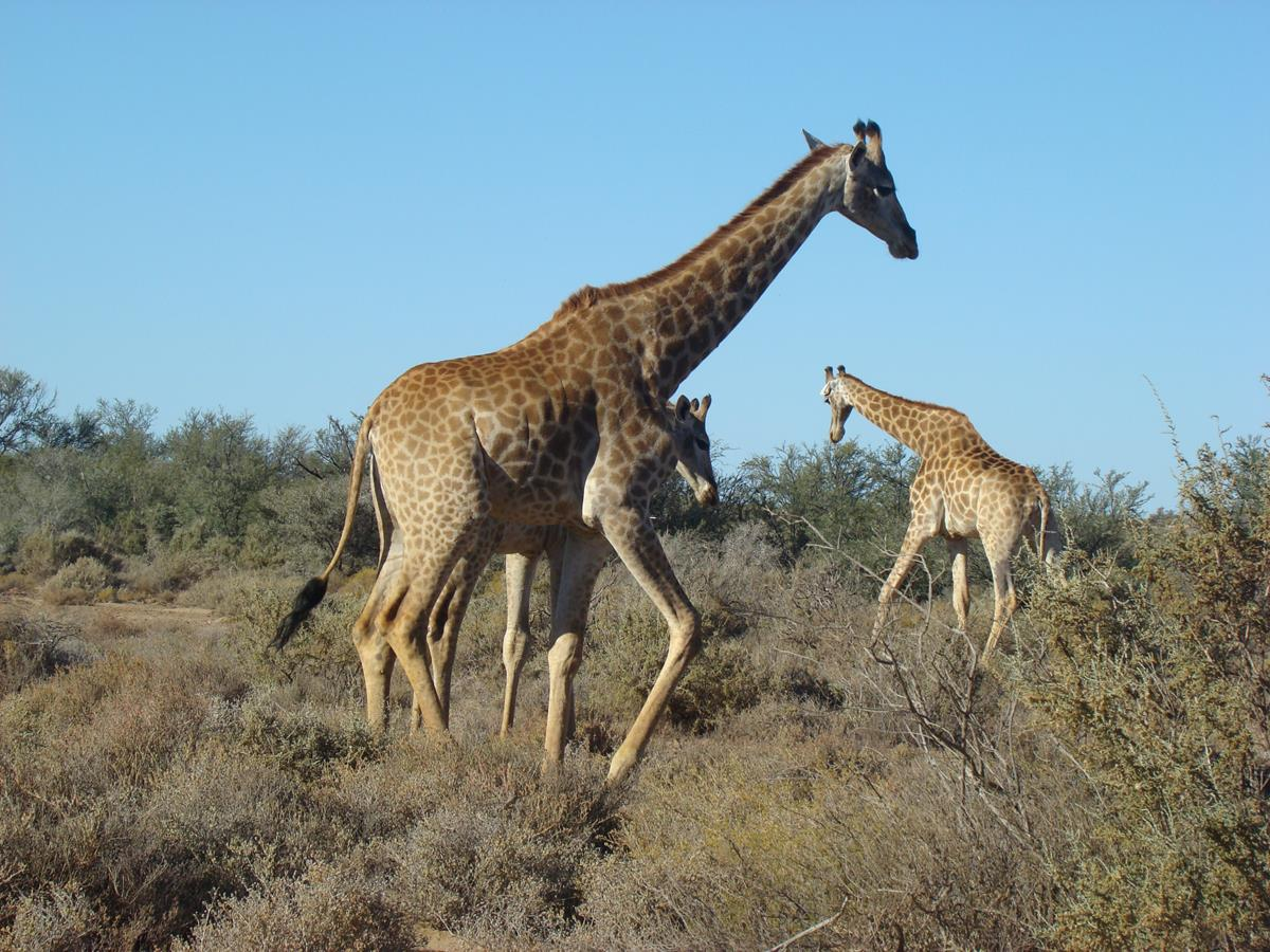 Giraffe Family At The Game Reserve During The Overnight Luxury Safari
