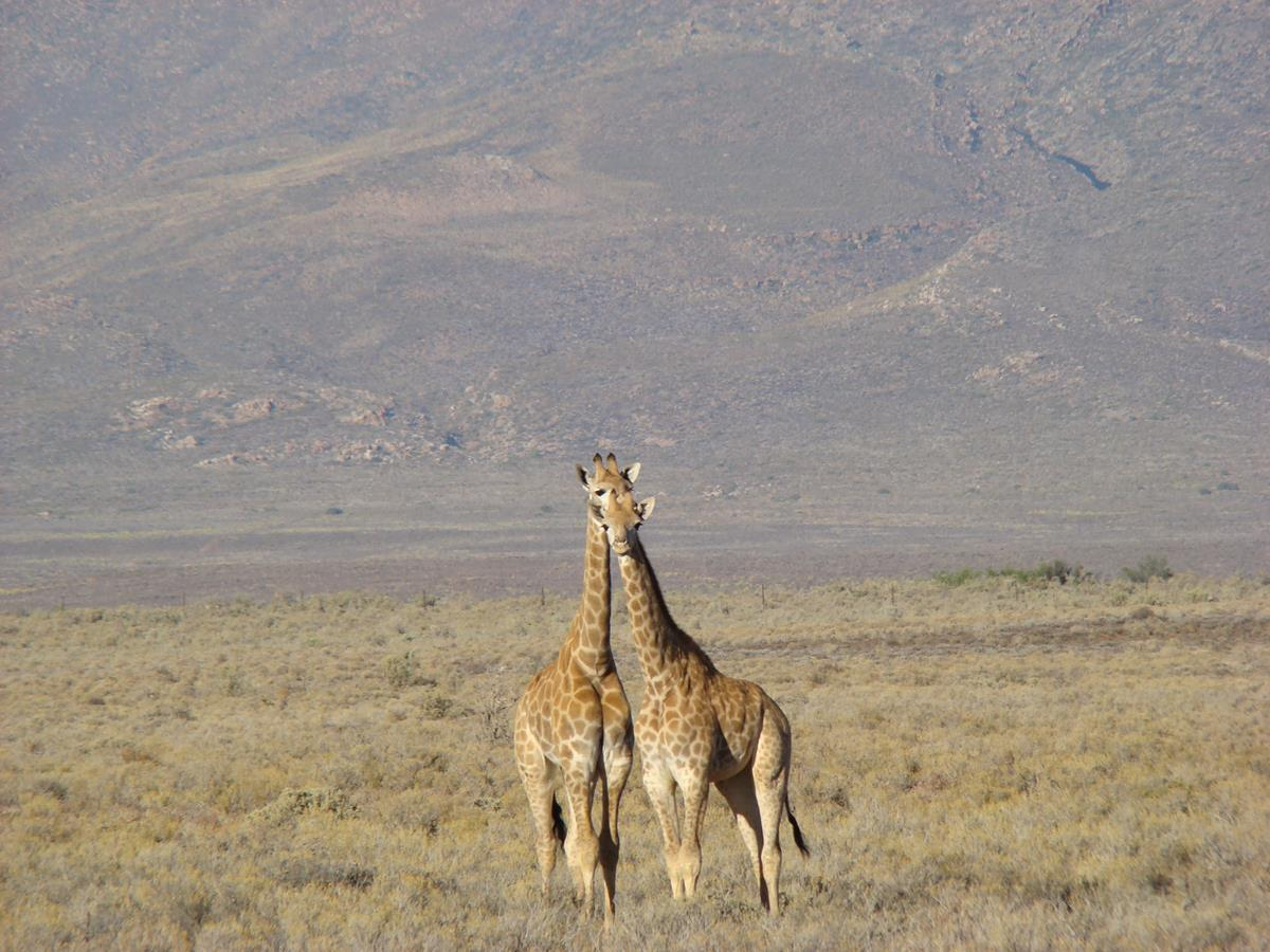 Male And Female Giraffe On A Full Day Safari