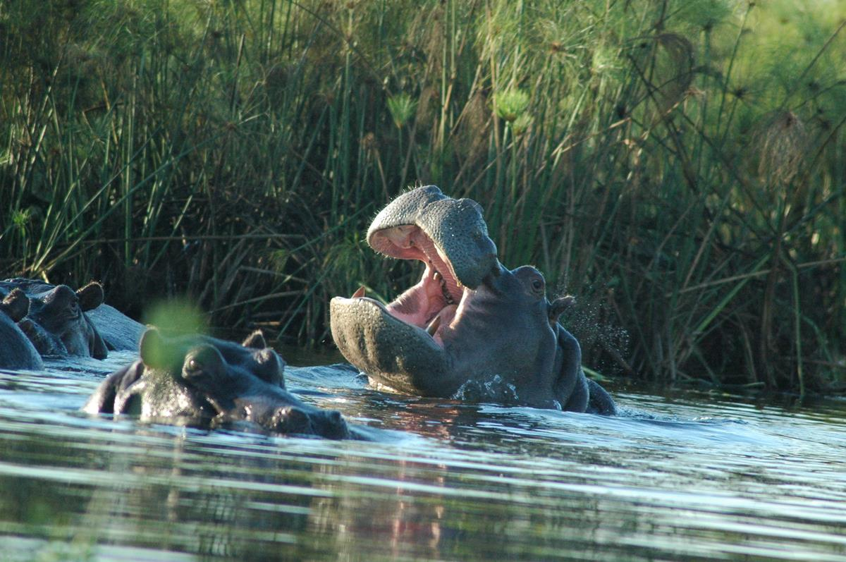 Disturbed Hippo in the Okavango Delta