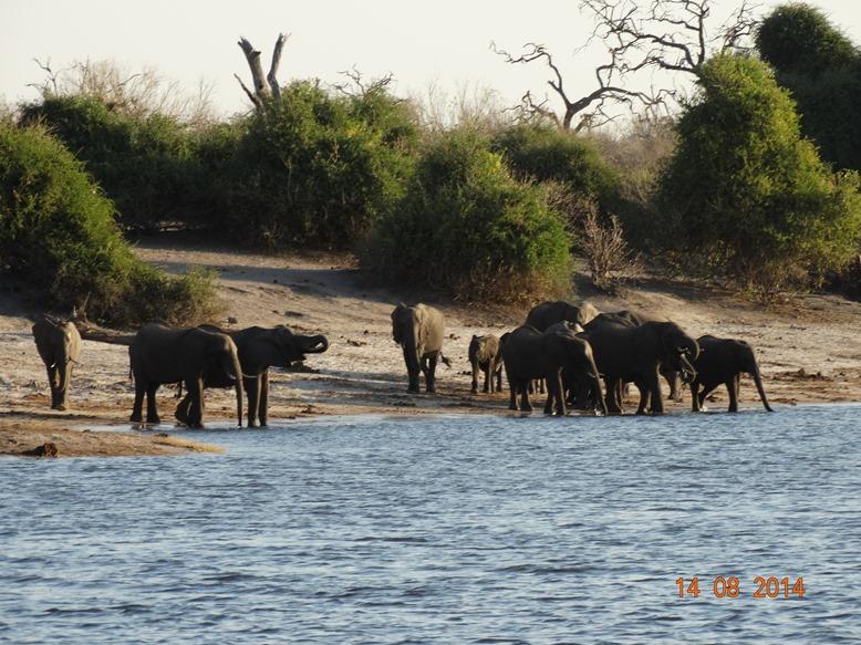 Elephant at Chobe River1