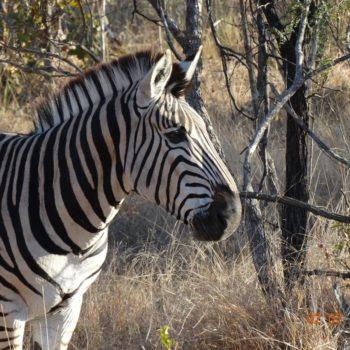 Spectacular Plains Zebra