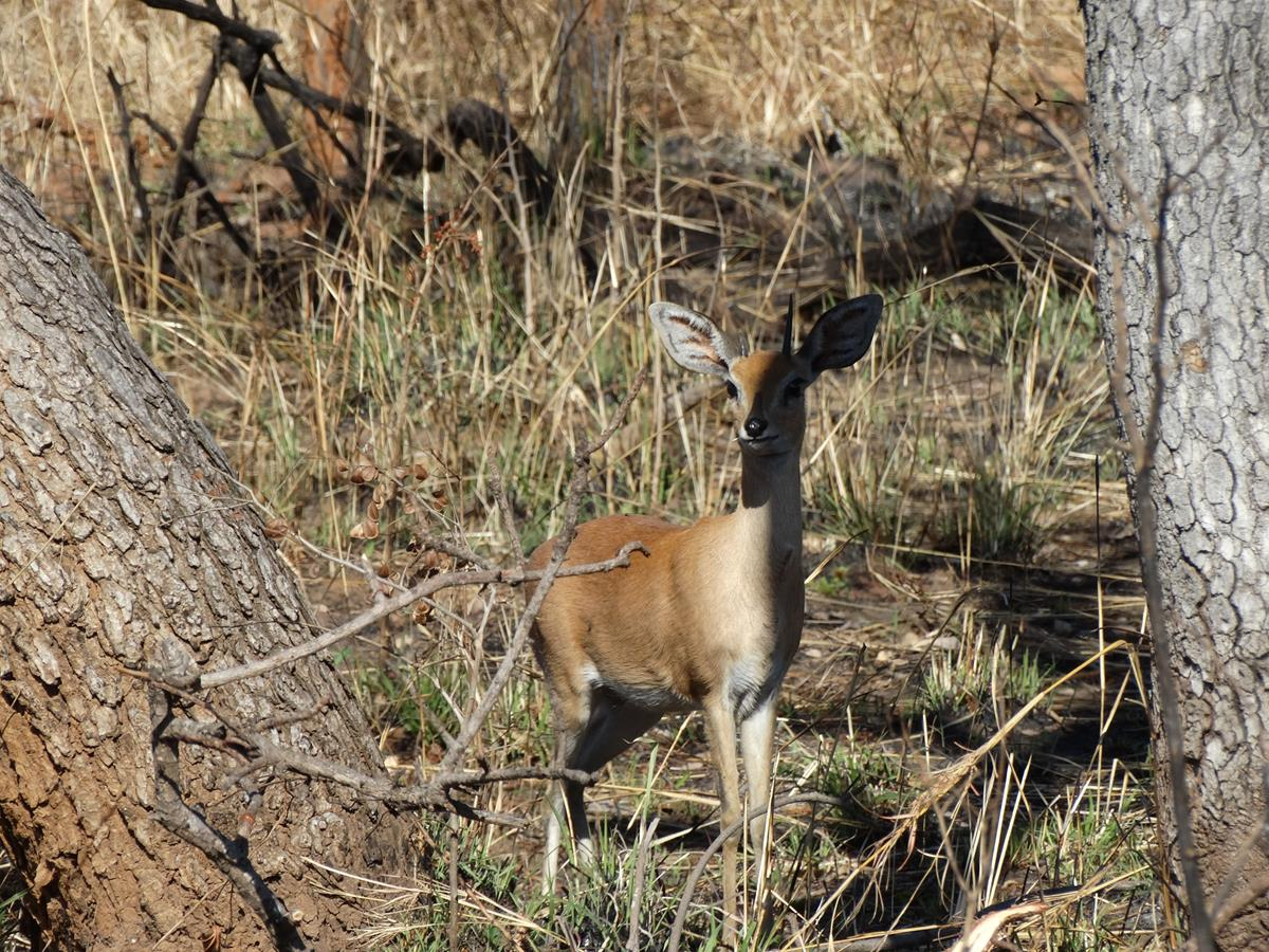 Steenbuck - shy and reclusive