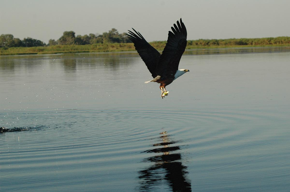 The Majestic African Fish Eagle