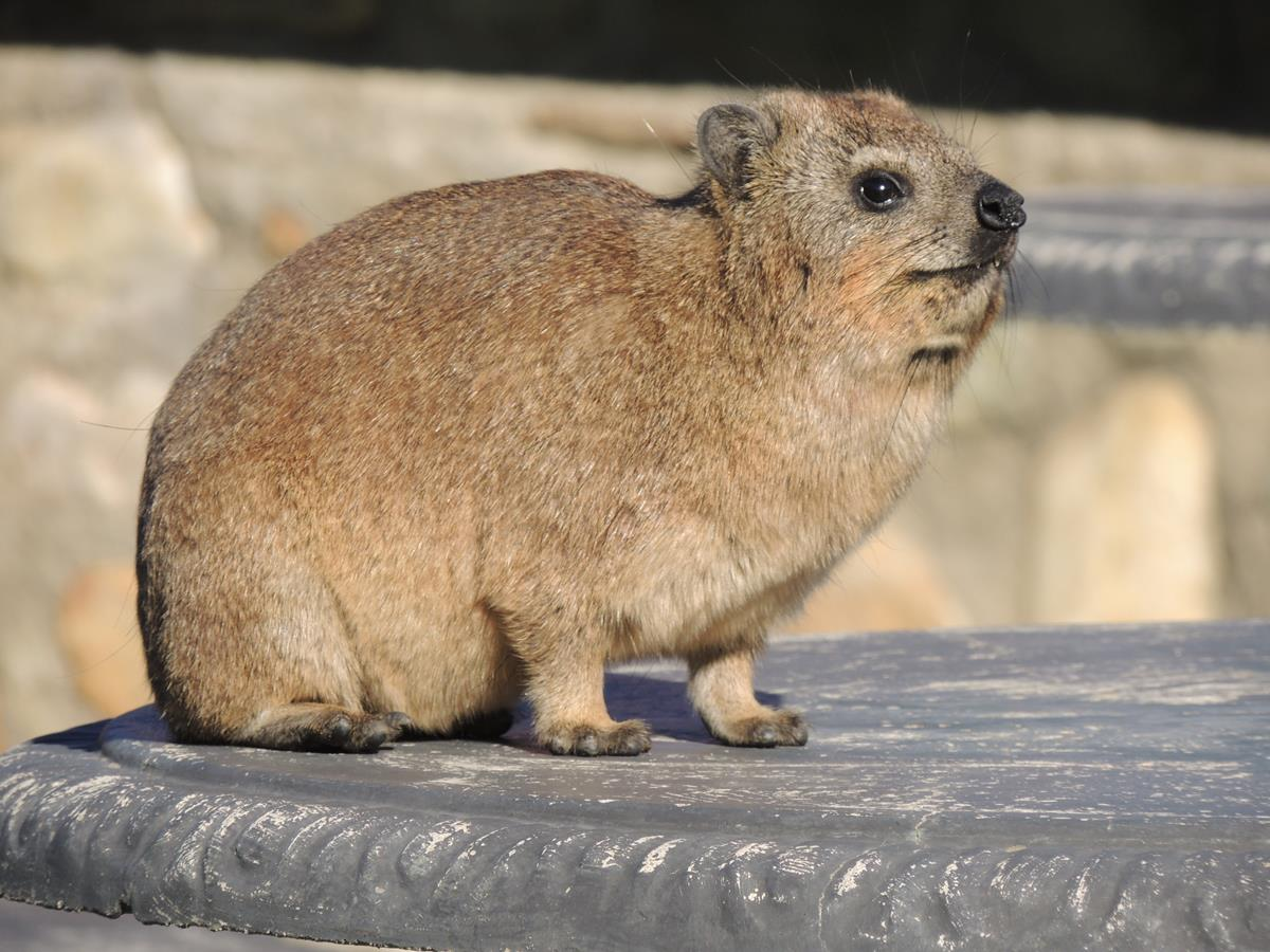 The Rock Hyrax on Table Mountain