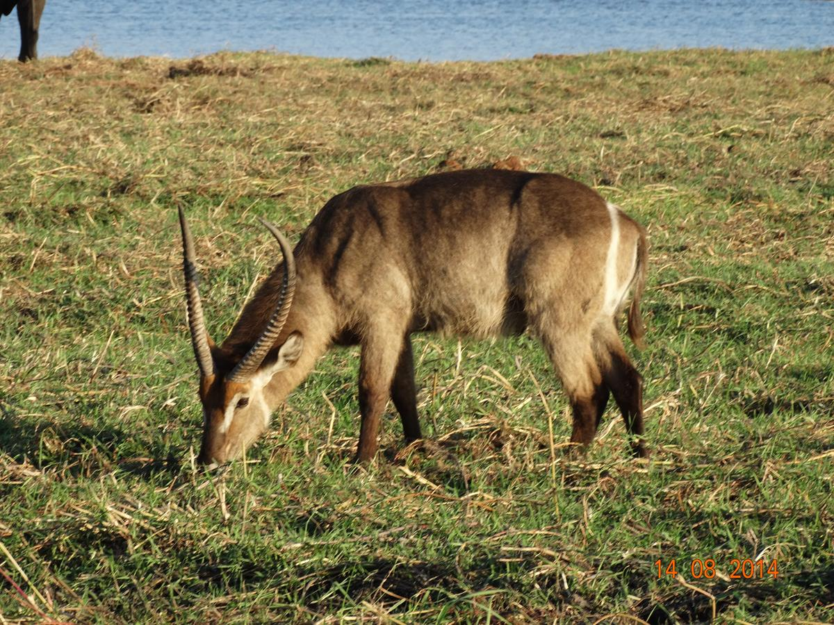 Waterbuck in Chobe