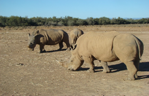 Beautiful family of Rhinos grazing on safari