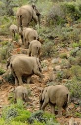Elephants at Sanbona Reserve
