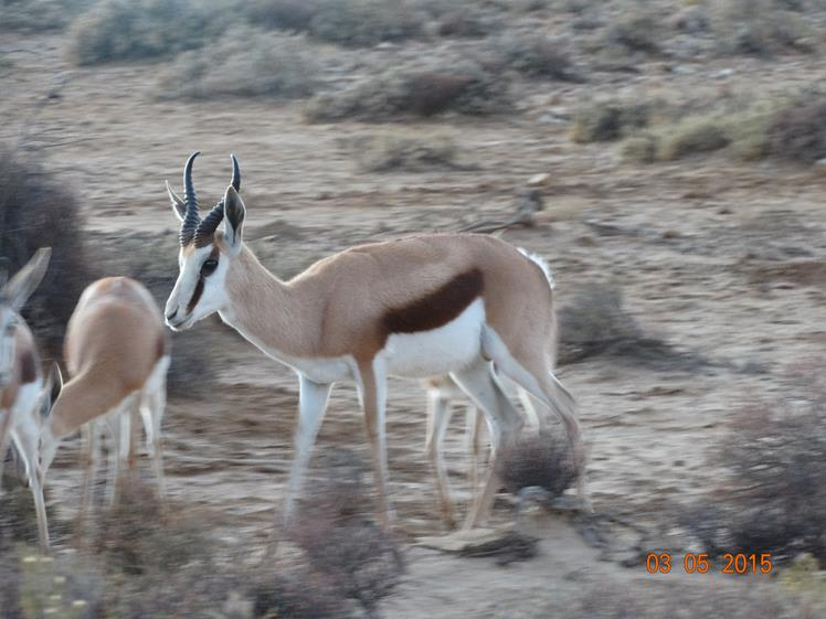 Springbok spotted in Safari