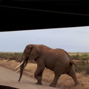 Elephant Of The Amboseli National Park
