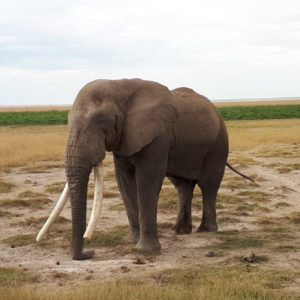 Elephant Of Amboseli