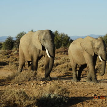 Elephant in the Karoo