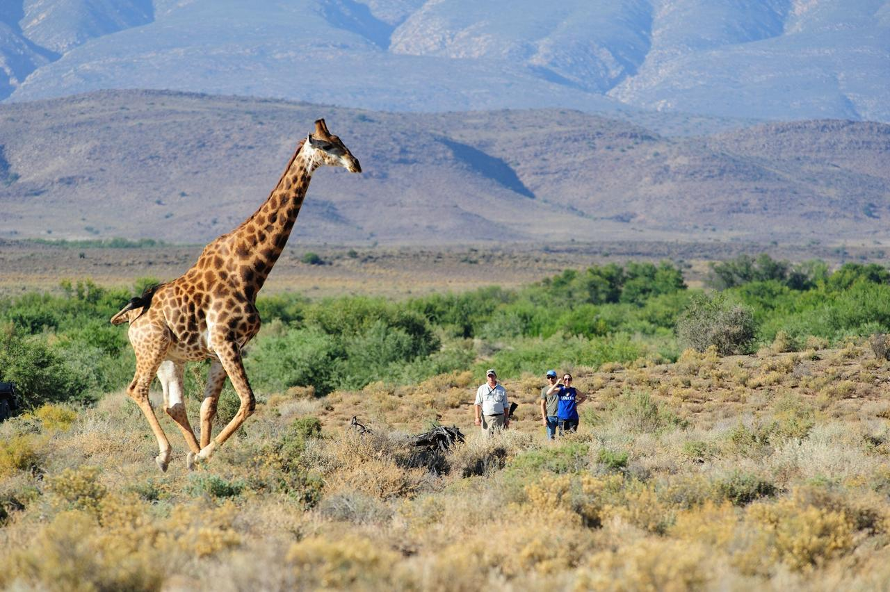 Giraffe in the Wild spotted on the Explorer Walking Safari