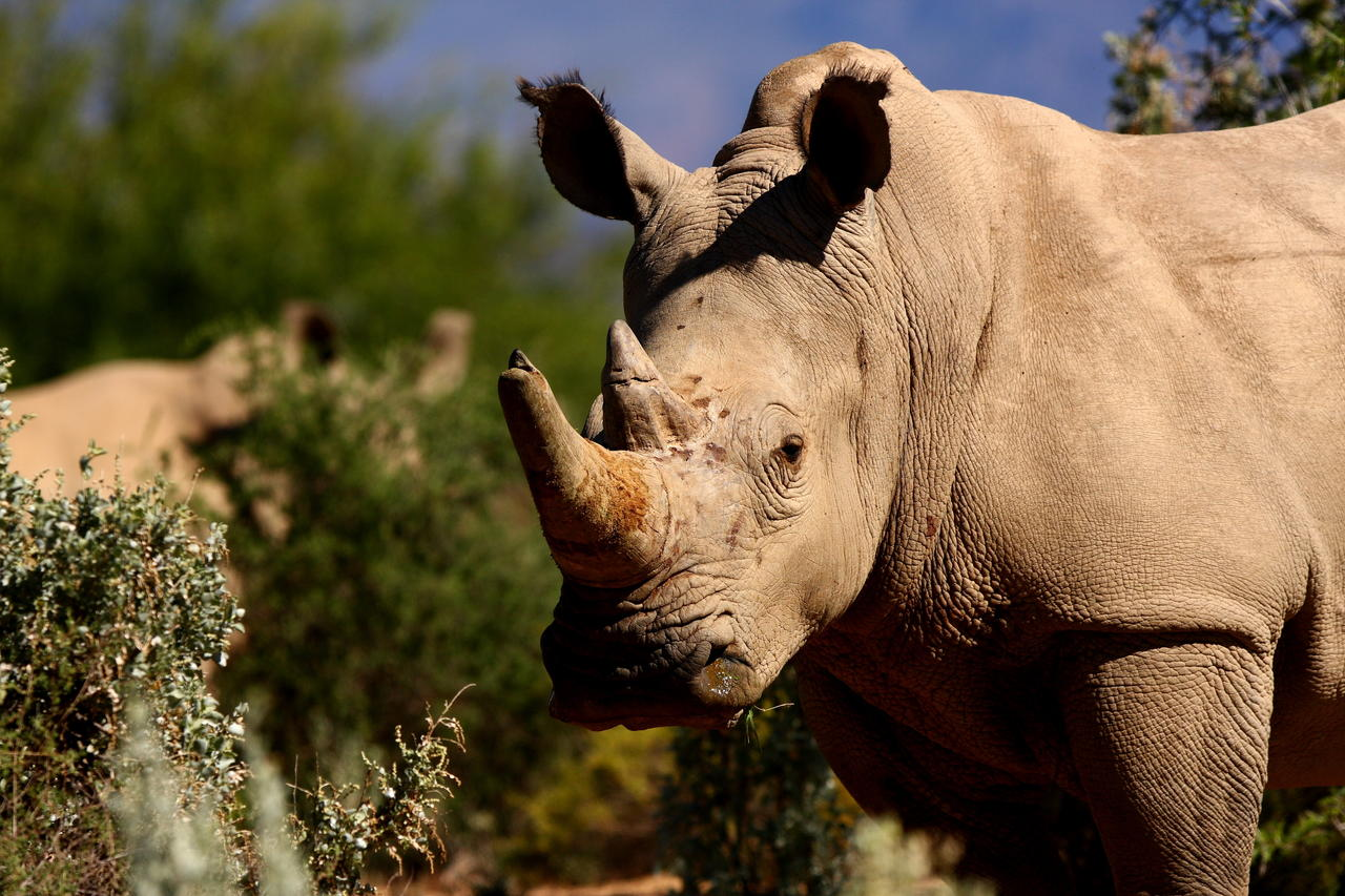 White Rhino at Sanbona Wildlife Reserve seen on the Sanbona Luxury Safari
