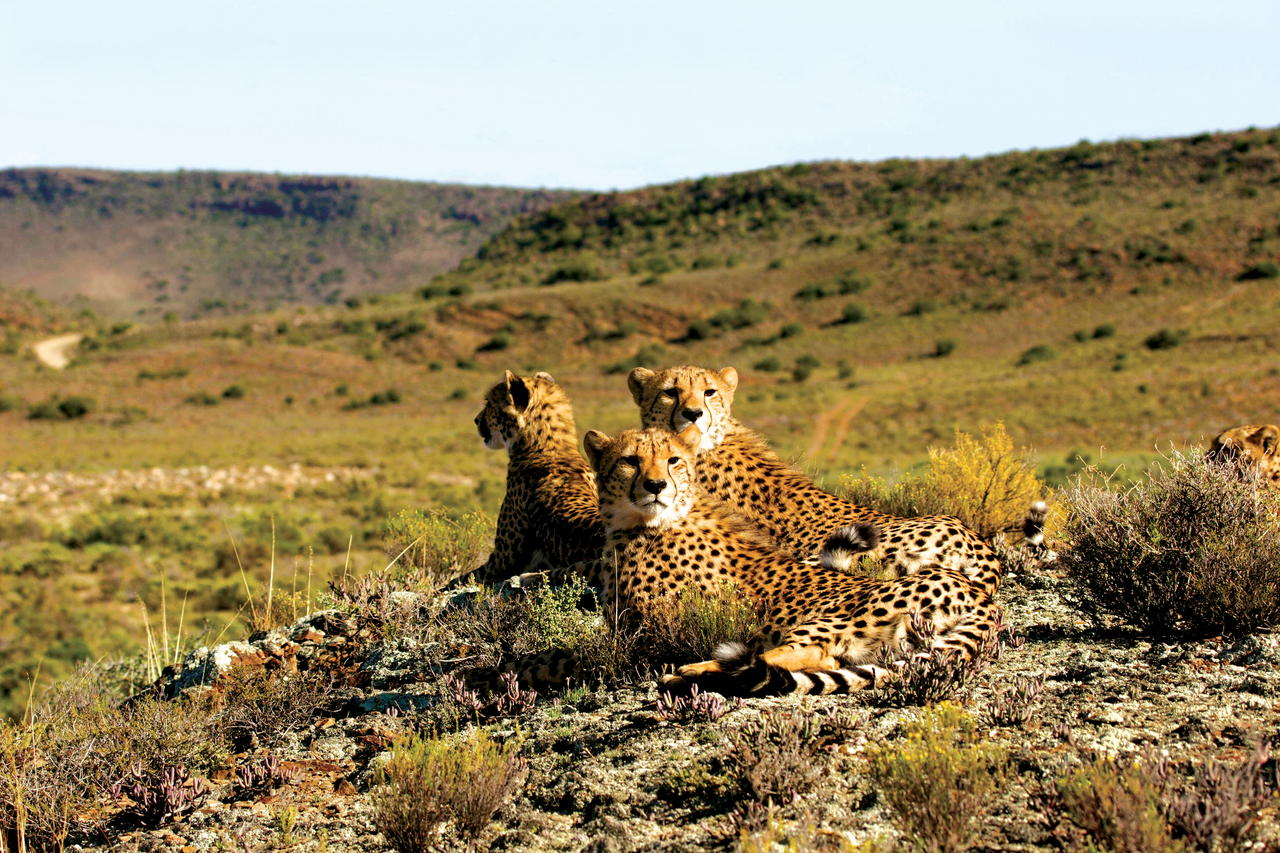 Cheetah on the luxury safari to Sanbona Wildlife Reserve