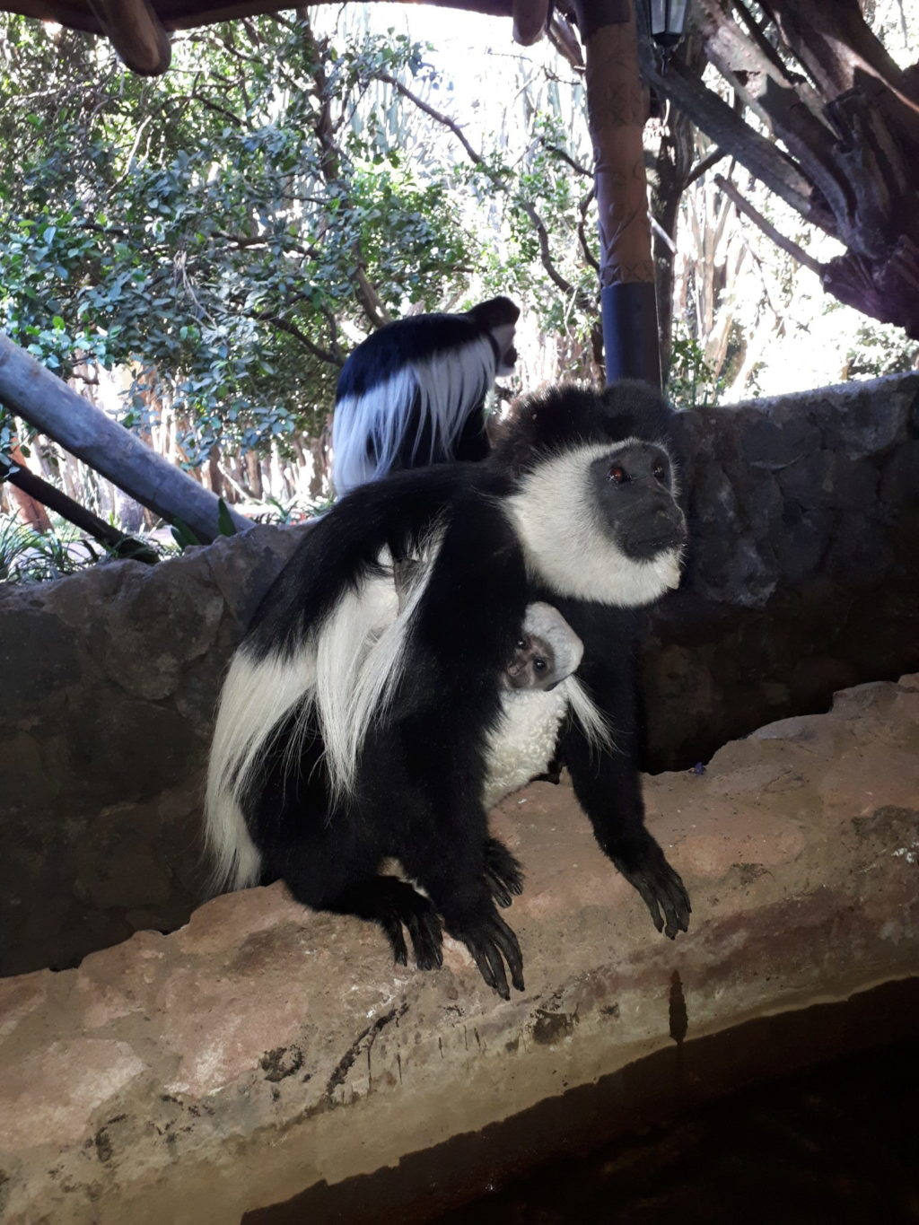 Colobus Monkeys seen at Lake Naivasha