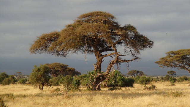Acacia Trees in Kenya