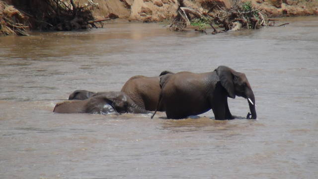 Elephant having a bath and some fun in the Ewaso Ngiro River, Samburu National Park