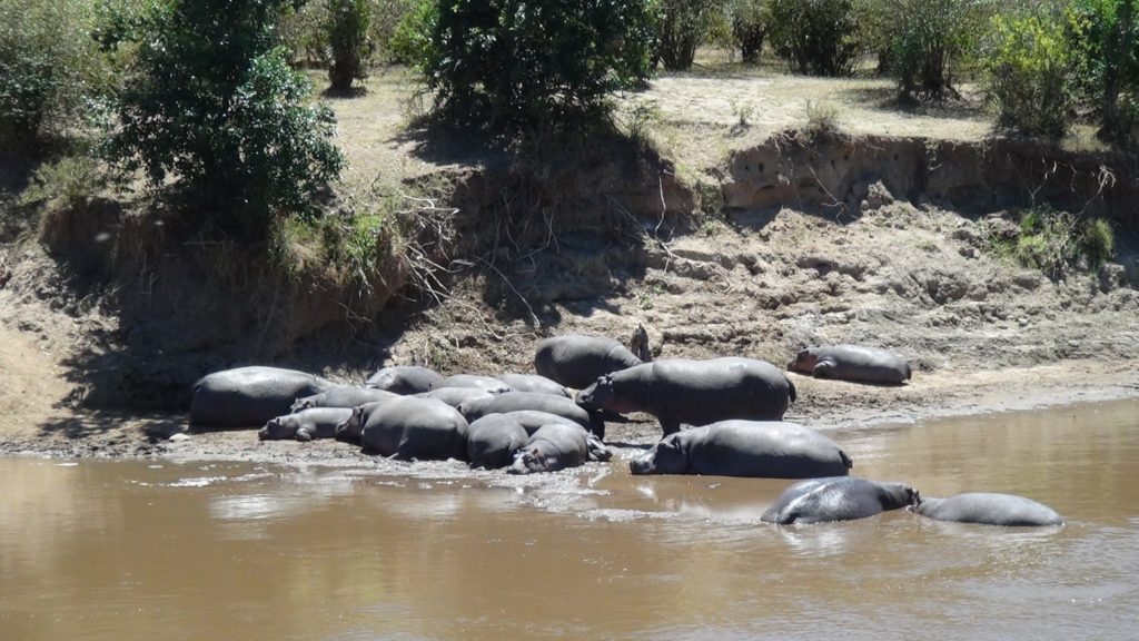 Pod of Hippos in the Mara River