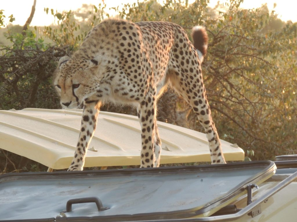 Cheetah on the roof of the Safari vehicle