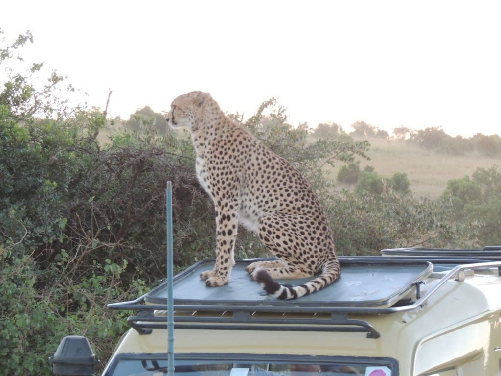 Cheetah looking for a vantage point in the Masai Mara