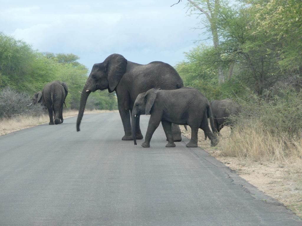 Mega elephant herd crossing the road in Botswana