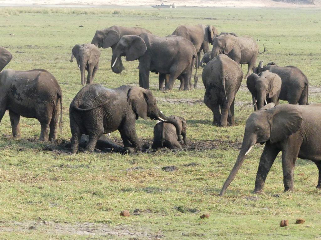 Elephants enjoying a mud bath on the banks of the Chobe National Park.